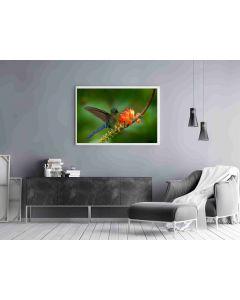 Plakat Kolibri